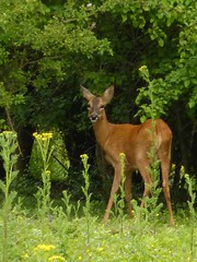 Roe deer with yellow flowers 3d