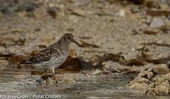 animal, fauna, close-up, calidrid, sandpiper, beak, bird, wildlife,