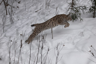 A lynx seen on the Biosphere Expedition in Slovakia