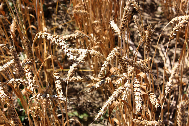 A red winter wheat | Flickr - Photo Sharing!