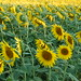 Sunflowers back to the sun -Tournesol le dos au soleil ©Flikkersteph -3,000,000 views ,thank you!