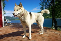 dog breed, animal, akita inu, west siberian laika, dog, siberian husky, canaan dog, pet, norwegian buhund, shikoku, mammal, east siberian laika, greenland dog, kishu, northern inuit dog, korean jindo dog, wolfdog, native american indian dog, alaskan malamute,
