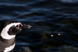 Penguin longing for the sea