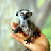Ring tailed lemur by floridapfe