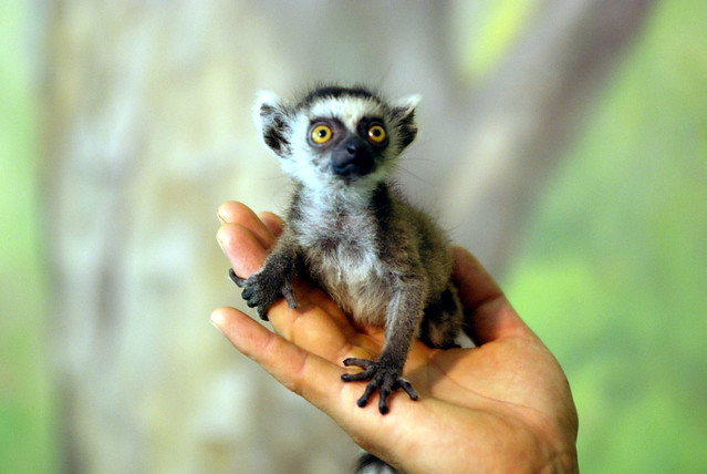 Baby Ring Tailed Lemur Pictures