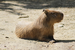 animal, rodent, fauna, capybara, whiskers, wildlife,