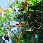 Scarlet Sterculia Fruit Pods