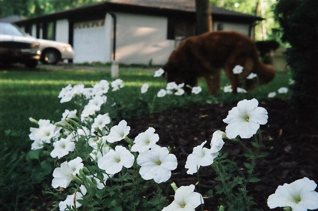 Petunias, dog, and Cadillac