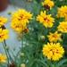 Coreopsis grandiflora 'Sunray' 1