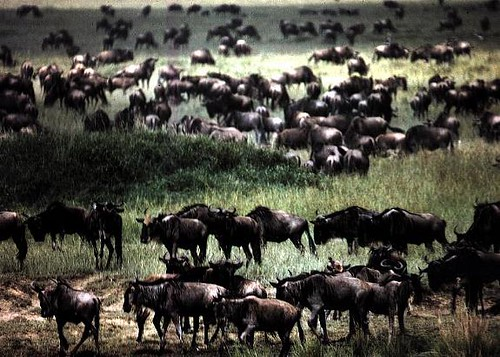 July - August Wildebeest Migration