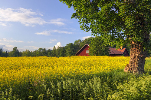 blue red tree green field yellow barn countryside sweden seed rape sverige agriculture raps hdr rapeseed östergötland sigma1020mmf456exdchsm bjärkasäby canoneos7d ginordic1