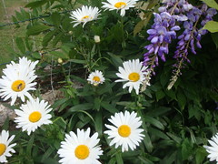 Marguerites and wisteria