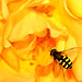 Hoverfly on Yellow Rose by Jane in Colour