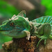 Small photo of Molting lizard