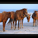Wild Ponies of Assateague Island by JTF.