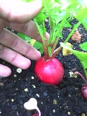 soil, plant, fruit, radish,
