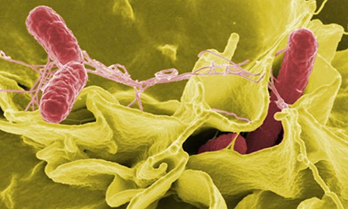 Salmonella Invades a Cultured Human Cell (NASA, International Space Station, 7/28/11)