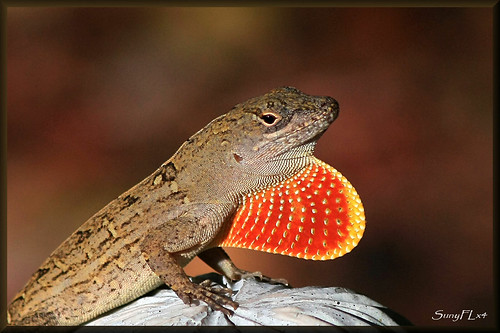 nature outdoors florida reptile wildlife lizard explore lakeland brownanole explored stunningphotogpin best4gpin