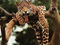 ocelot(0.0), animal(1.0), big cats(1.0), leopard(1.0), mammal(1.0), jaguar(1.0), fauna(1.0), wildlife(1.0),