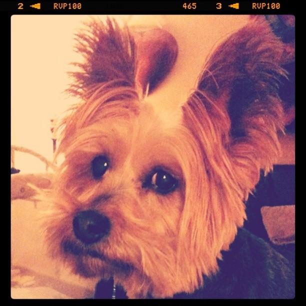 My what big ears you have, Kayla. #Yorkie @alisonpurple 's doggie ... Yorkie