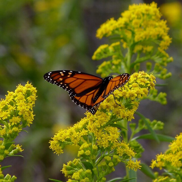 Monarch on Seaside Goldenrod from Flickr via Wylio