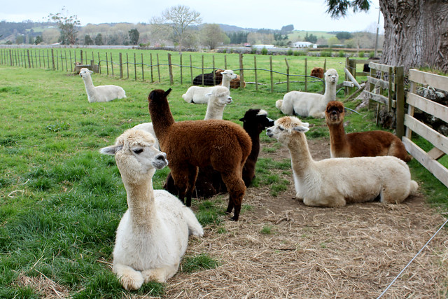 Goodbye alpacas