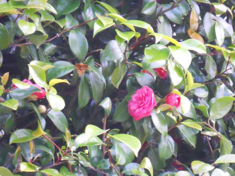 Camellia japonica 'Elegans' 3