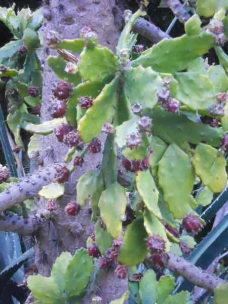 Opuntia brasiliensis v 1