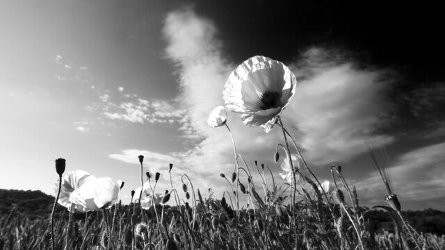 A Black and White Poppy