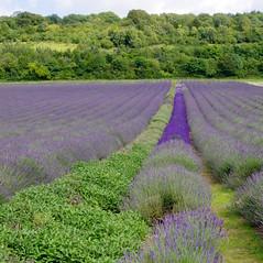 Sage and lavender