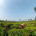 Fisheye View of Tea Pickers - Srimongal, Bangladesh