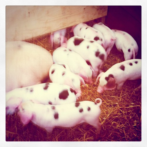 Piglets at the Great Yorkshire Show