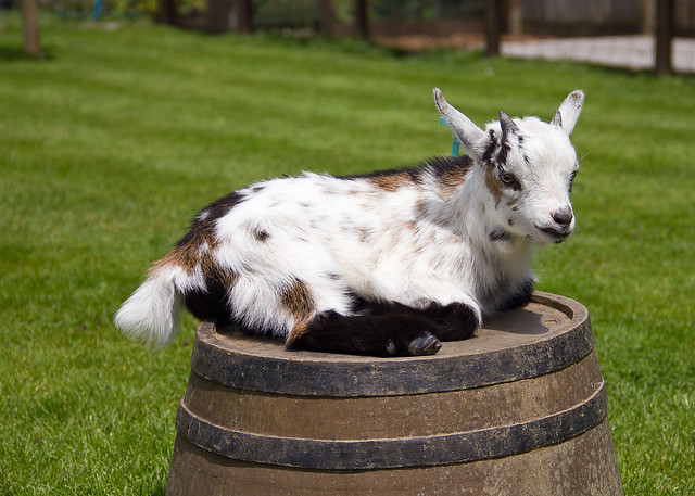 pygmy goat 2