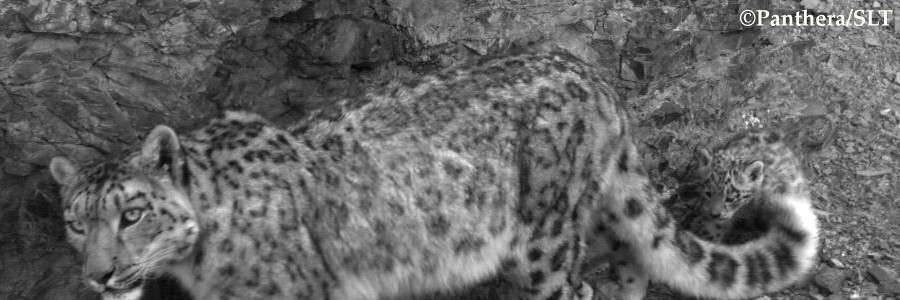 A camera trap image of a female snow leopard with her tiny cub, estimated to be a few months old, in Summer 2010 in Mongolia's Tost Mountains.   Learn how Panthera is working throughout Asia to save snow leopards like these at www.panthera.org/programs/snow-leopard/snow-leopard-program