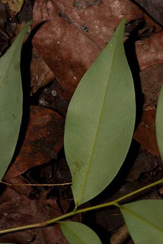 annonaceae xylopia selectedforflickrjuly2011 xylopiaaethiopica harris9494 taxonomy:binomial=xylopiaaethiopica