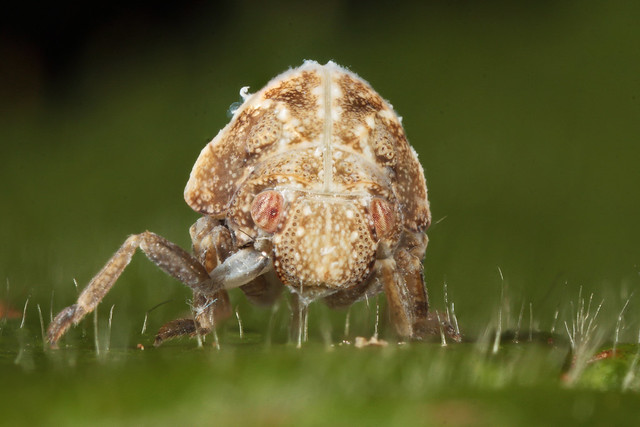 Two-striped Planthopper nymph