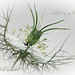 Love in a mist (Nigella damascena) 2