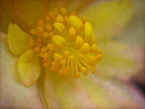pink yellow flora bravo begonia textured petaledge magicunicornverybest magicunicornmasterpiece