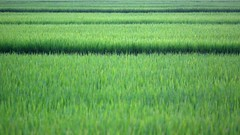 Logarithmic Rice Paddies