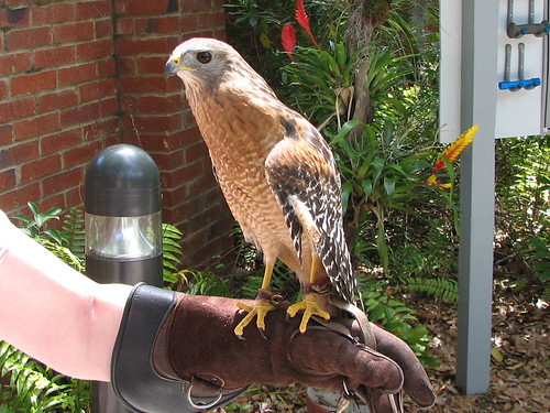 Picasso the Red-shouldered Hawk