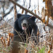 Sloth Bear (Julian Thomas)