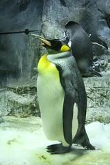 animal, penguin, flightless bird, fauna, king penguin, beak, bird,