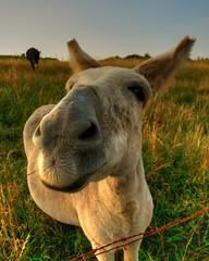 mane(0.0), camel(0.0), arabian camel(0.0), camel-like mammal(0.0), animal(1.0), prairie(1.0), donkey(1.0), grass(1.0), pack animal(1.0), grazing(1.0), fauna(1.0), pasture(1.0), wildlife(1.0),