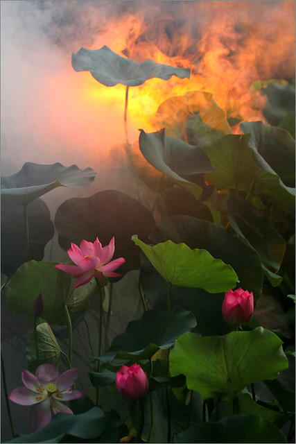Surreal Lotus Flower - IMG_1247-1-800