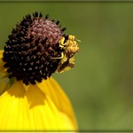 Jagged Ambush Bug on Prairie Coneflower