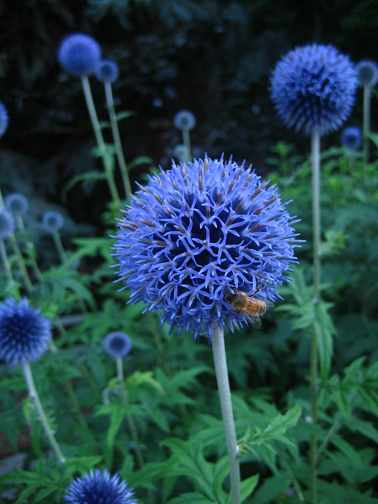 blue spiky flowers seattle university campus flickr