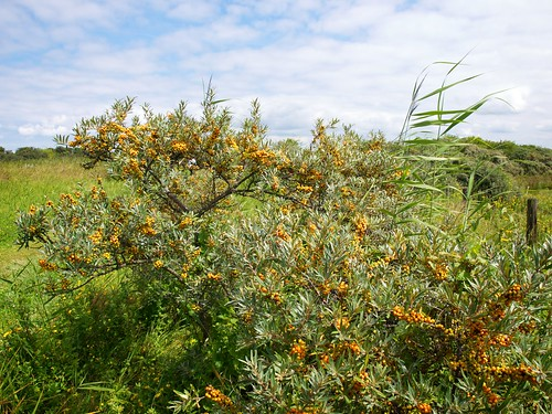 sea buckthorn sea berry hedge
