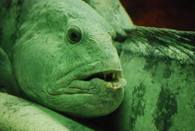 Morena en e acuario de Bergen