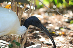 animal, fauna, close-up, pelecaniformes, beak, ibis, bird, wildlife,