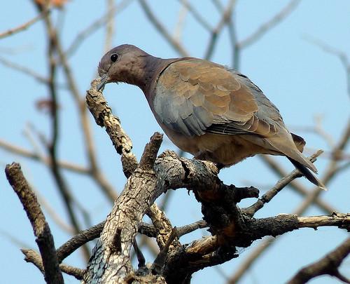 Dove in Etosha, Namibia